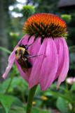 Cone Bee