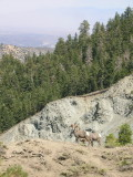 Bighorn Sheep on Wright Mountain