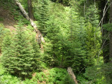 Young Firs and Hemlocks