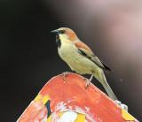 Sparrows, Finches, Grosbeaks, Buntings etc