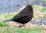 Common Blackbird, female