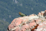 Kea on classic  perch