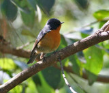 Slaty-backed Flycatcher