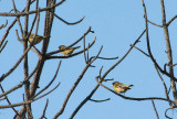 Black-headed Greenfinches