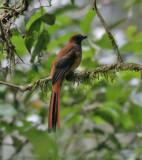 Birds of Mt. Kinabalu, Sabah, East Malaysia (Borneo)
