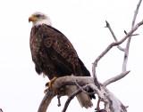Juvenile Eagle in the Snowfall