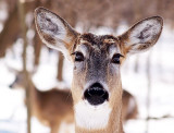 Many Faces of Deer