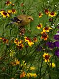Little Gold Finch