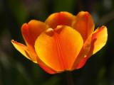 Yellow-Orange Tulip