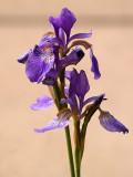 Dainty Little Iris.jpg