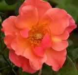 Peach n Yellow Tea Rose.jpg