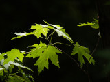 Dappled Leaves in the Woods
