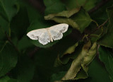White Moth Very Small_1