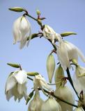 Yucca Blooms