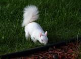 A New Albino Baby Squirrel