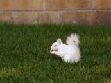 Baby Albino Squirrel