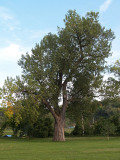 Largest Cottonwood Tree I've Ever Seen
