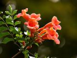 Orange Trumpet Flower Vine