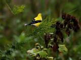 Goldfinch's Pretty Colors