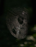 Spider's Web in the Woods