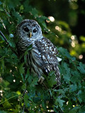 Barred Owl for Print Reduced for web