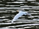 Egret Over the Minnesota River