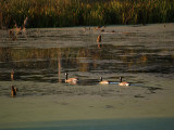 Geese and Lengthening Shadows