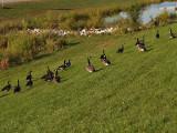My Geese My Darlings