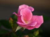 Early Fall Roses