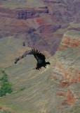 A Condor Soaring Above the Canyon
