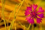 A Tiny Alpine Flower
