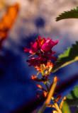 ... an Alpine bloom ...