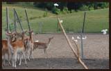 Bambi à la ferme