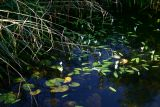 Pond Life at The Pines