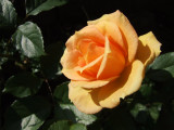 Twas the  Last  Rose of Summer .....