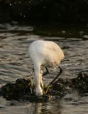 Egret fishing at Malibu Creek