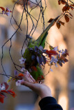 Wild Parrots of San Francisco