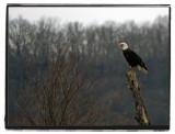 Mother Bald Eagle
