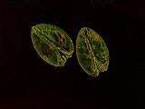 Water nymphs leaves