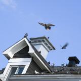 Toit et pigeons 2