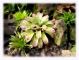 Ginger plant.jpg