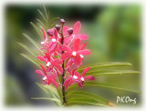 Red orchids1.jpg