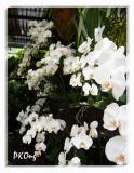 White orchids1.jpg