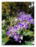 Purple orchids in a row.jpg