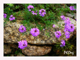 Purple flowers on rock.jpg
