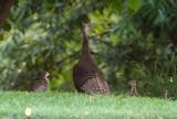 _MG_0046 Mama Turkey and Babies