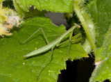 _MG_7994 On cucumber leaf 31 days