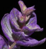 _MG_8001 Purple Salvia
