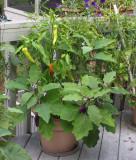 IMG_5582 Happy Peppers Eggplant