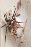 _MG_8722 Big Spider